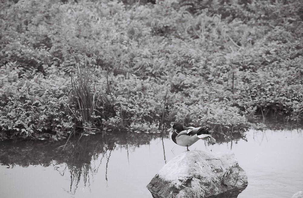 Duck by sillumgungfu