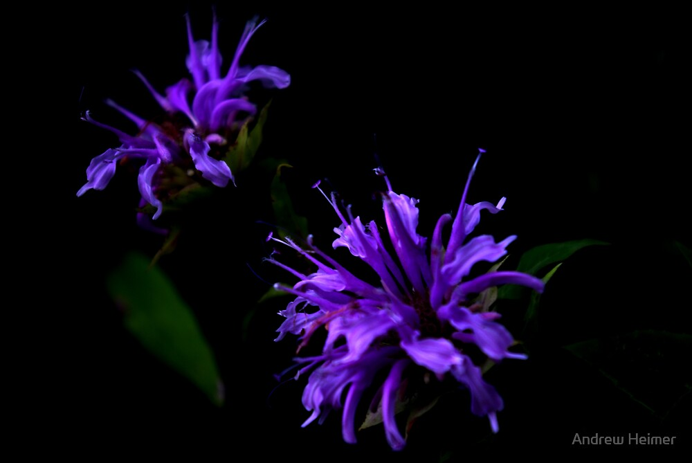Purple Flowers by Andrew Heimer