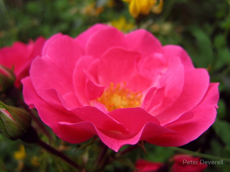 wild rose by Peter Deverell
