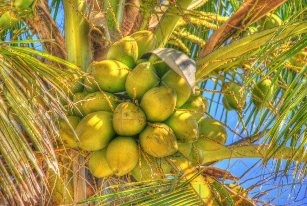 Coconuts on Tree by photorolandi
