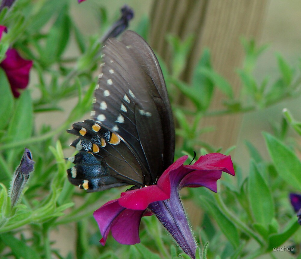 Butterfly Taking the Plunge by ekehoe