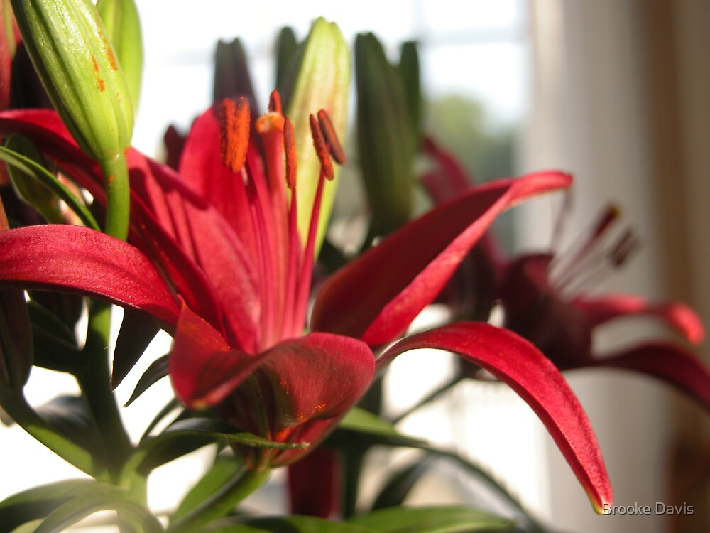 Macro Red Day Lily by Brooke Davis
