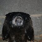 Turkey Vulture by carolcath