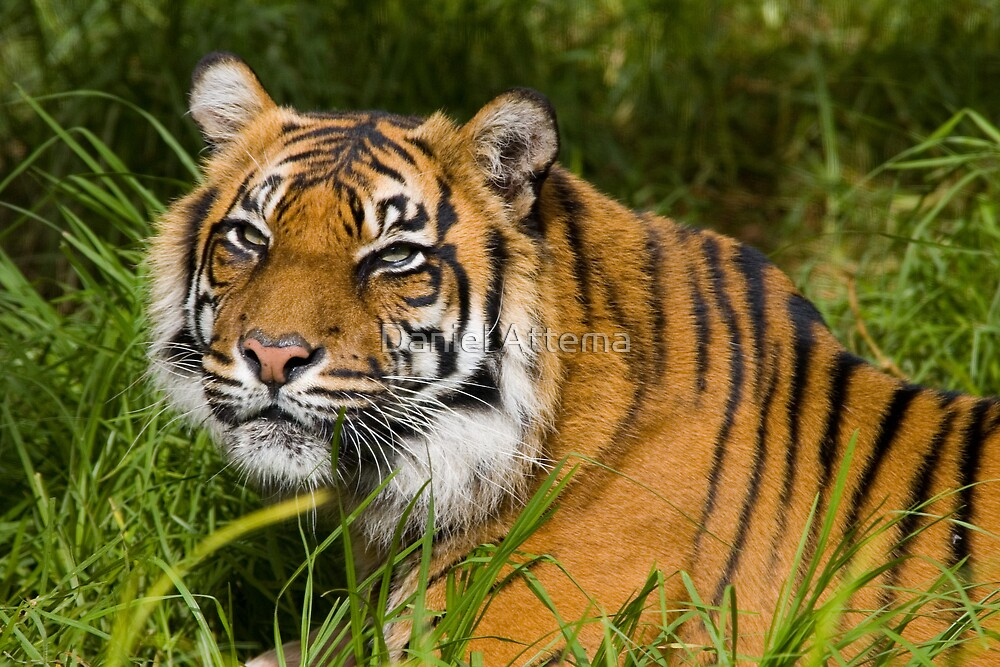Female Sumatran Tiger by Daniel Attema