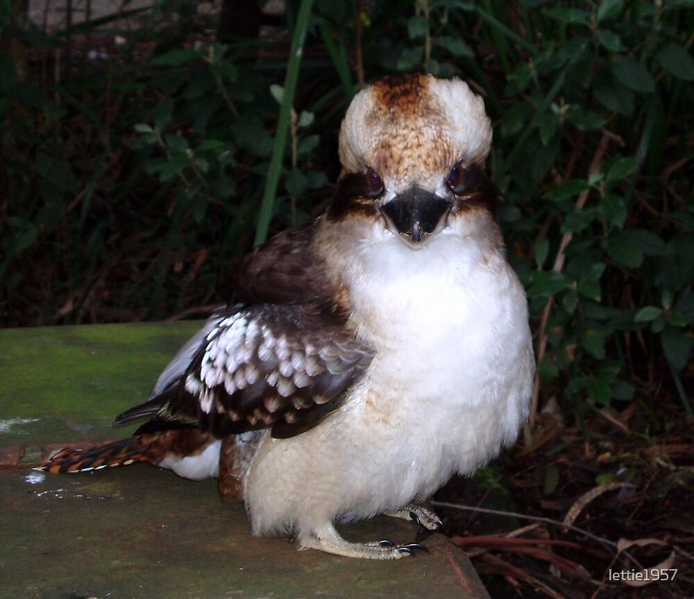 Baby Kookaburra - a new friend by lettie1957
