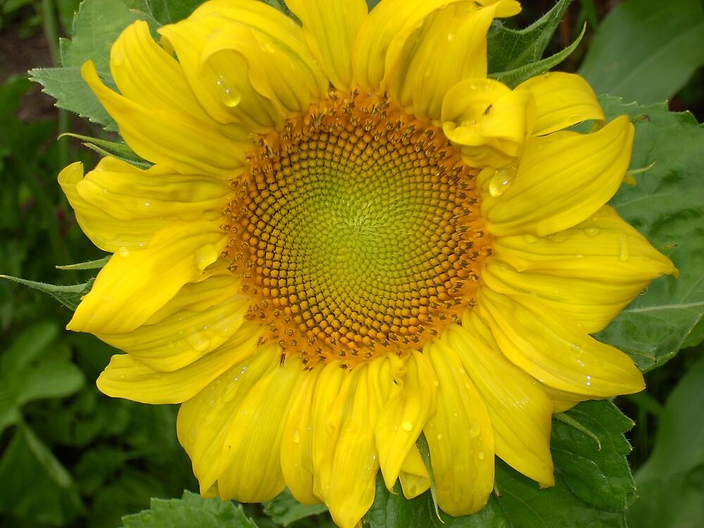 Sunflower too by yortman