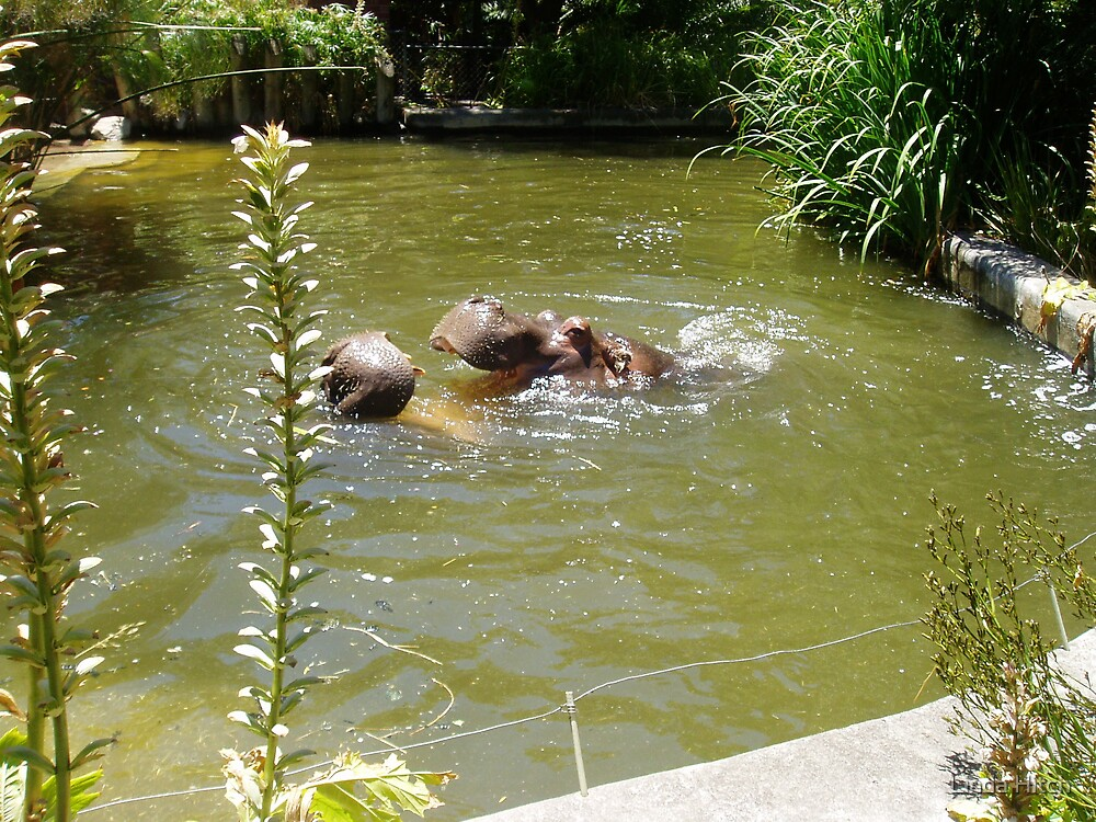 Hippos at play by Linda Hitch