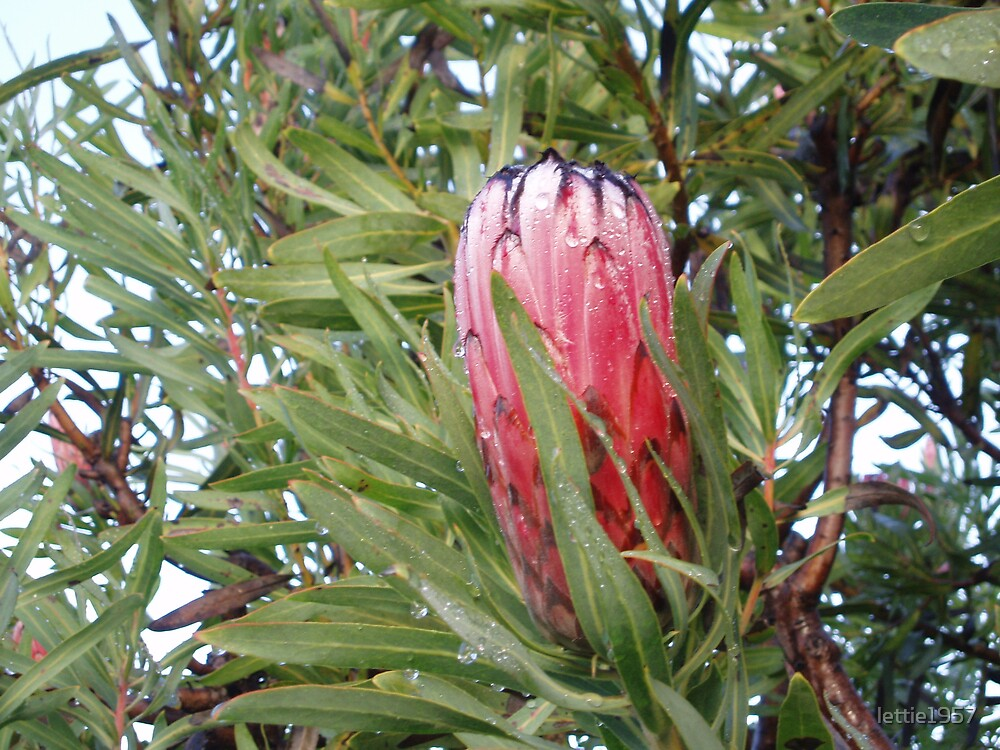 Protea with raindrops by lettie1957