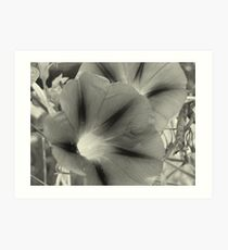 Morning Glory Stars Art Print