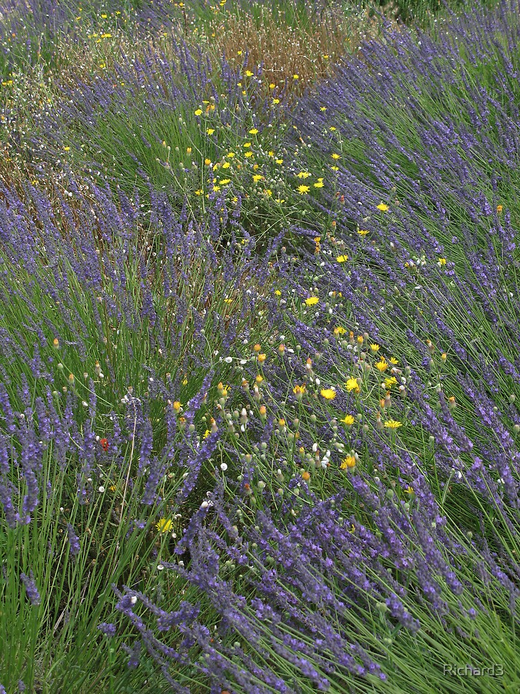 Wild flowers in southern France by Richard3