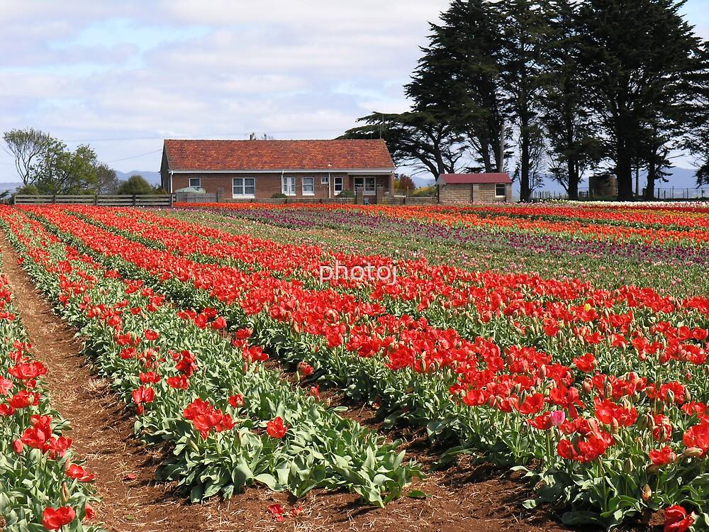 photoj Australia-Tasmania Tulips by photoj