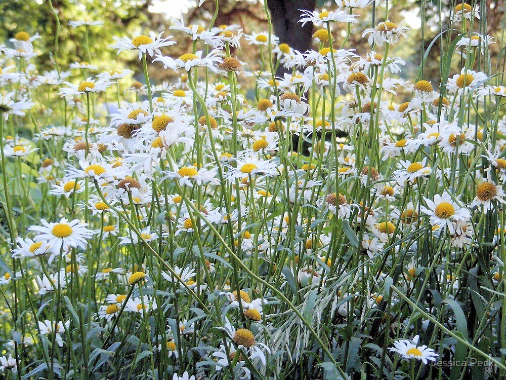 Field Of Daisies by Jessica Peck
