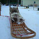 Dog sled in Alaska  by drewster
