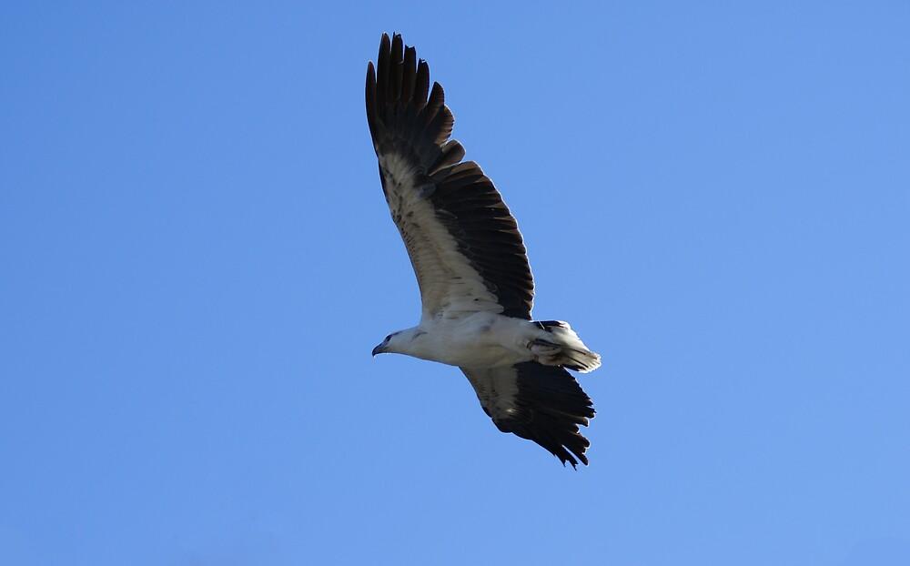 white bellied sea eagle by simonsinclair