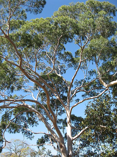 Eucalypus Gum Trees in the centre of Melbourne Australia by Stephen  Shelley