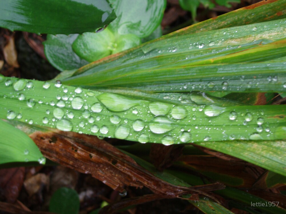 raindrops on leaves by lettie1957