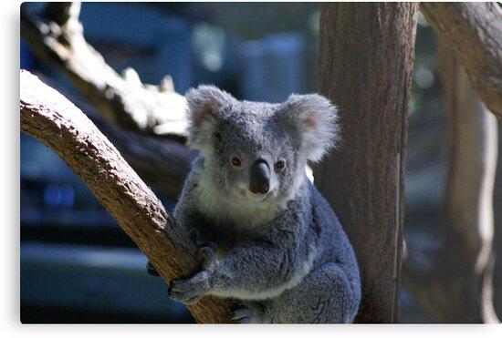 koala by simonsinclair