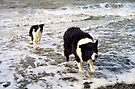 """Surf's Up, Border Collie Style."" by Michael Haslam"