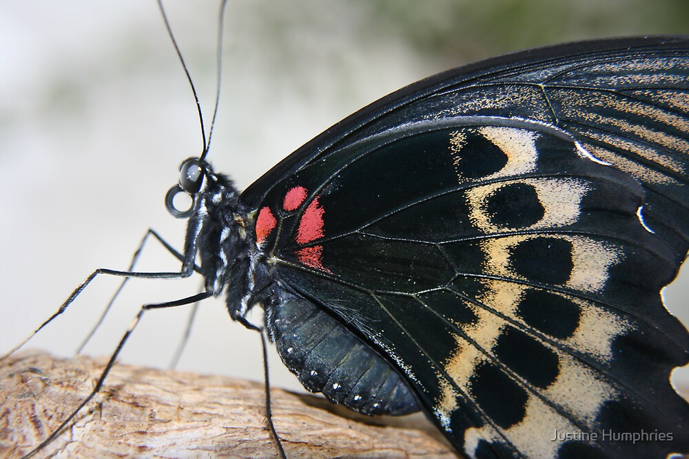 Butterfly in black by Justine Humphries