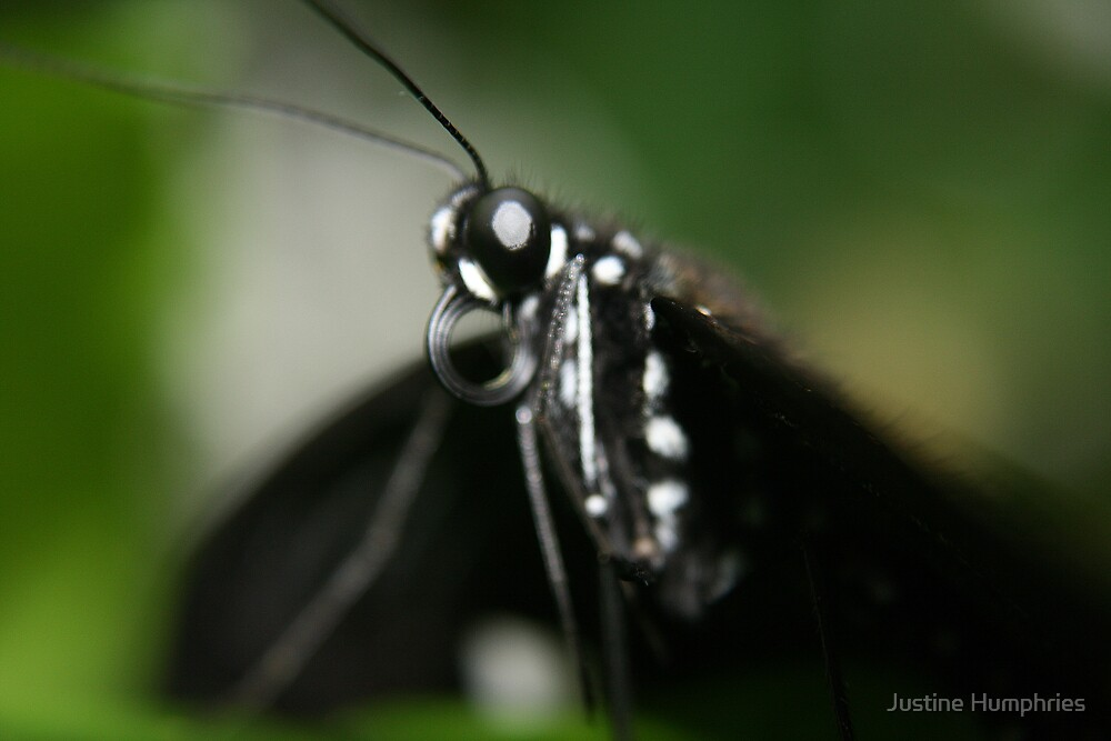 Black Beauty by Justine Humphries