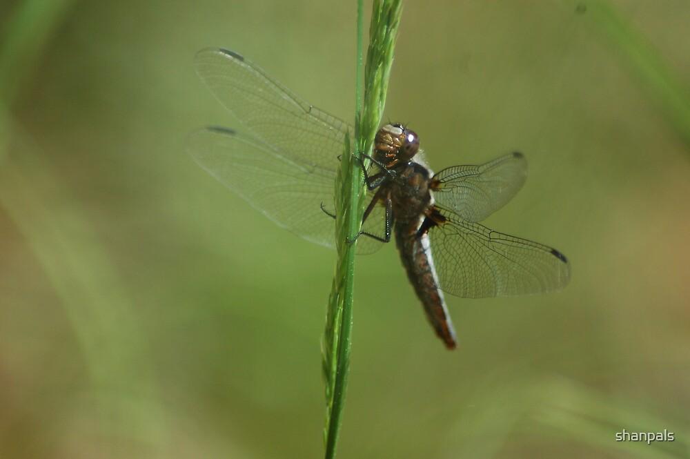 Dragonfly by shanpals