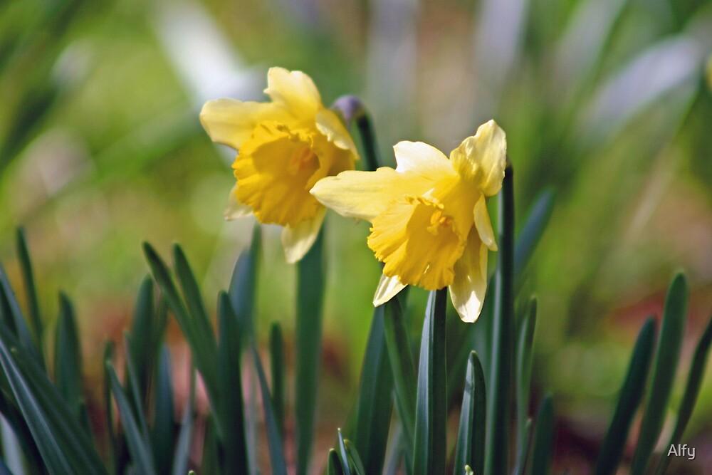 Daffodils by Alfy