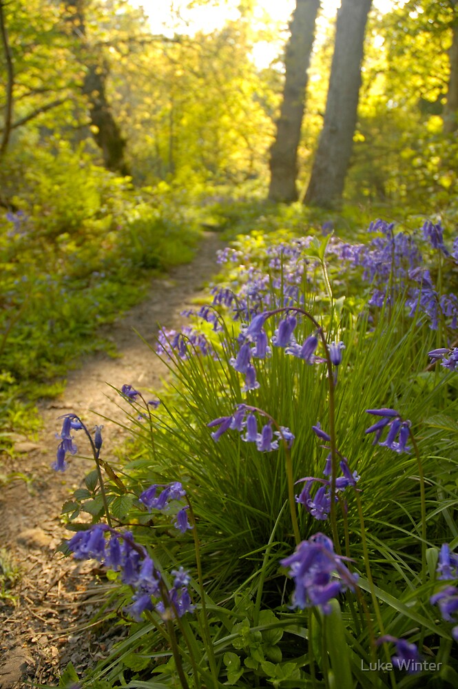 Sunwashed Bluebells by Luke Winter