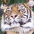 Tiger by TECA259