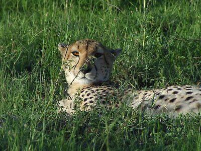 Cheetah by HelenRutter