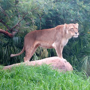 lioness on rock by Carolyn