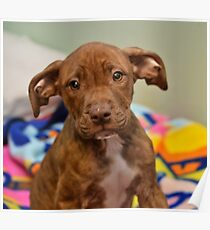 Pit Bull Mix Puppy  Poster