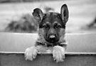 German Shepherd Puppy by Sandy Keeton