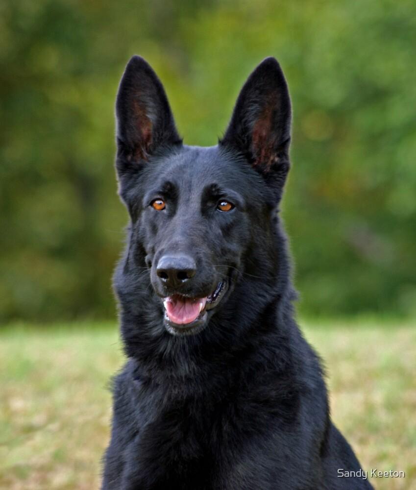 Black German Shepherd by Sandy Keeton
