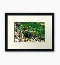Young Pileated Woodpecker Framed Print