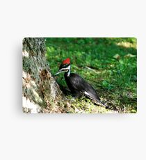 Young Pileated Woodpecker Canvas Print
