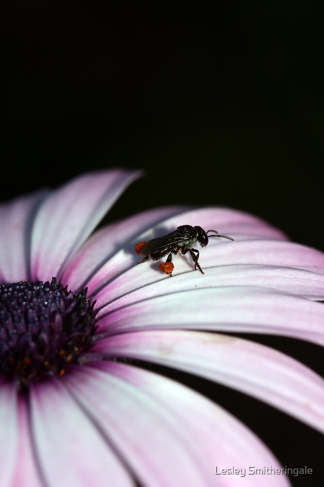 Bee on pinkish white daisy V by Lesley Smitheringale