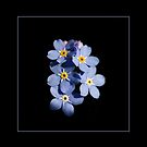 Forget-me-not flowers by Maryna Gumenyuk