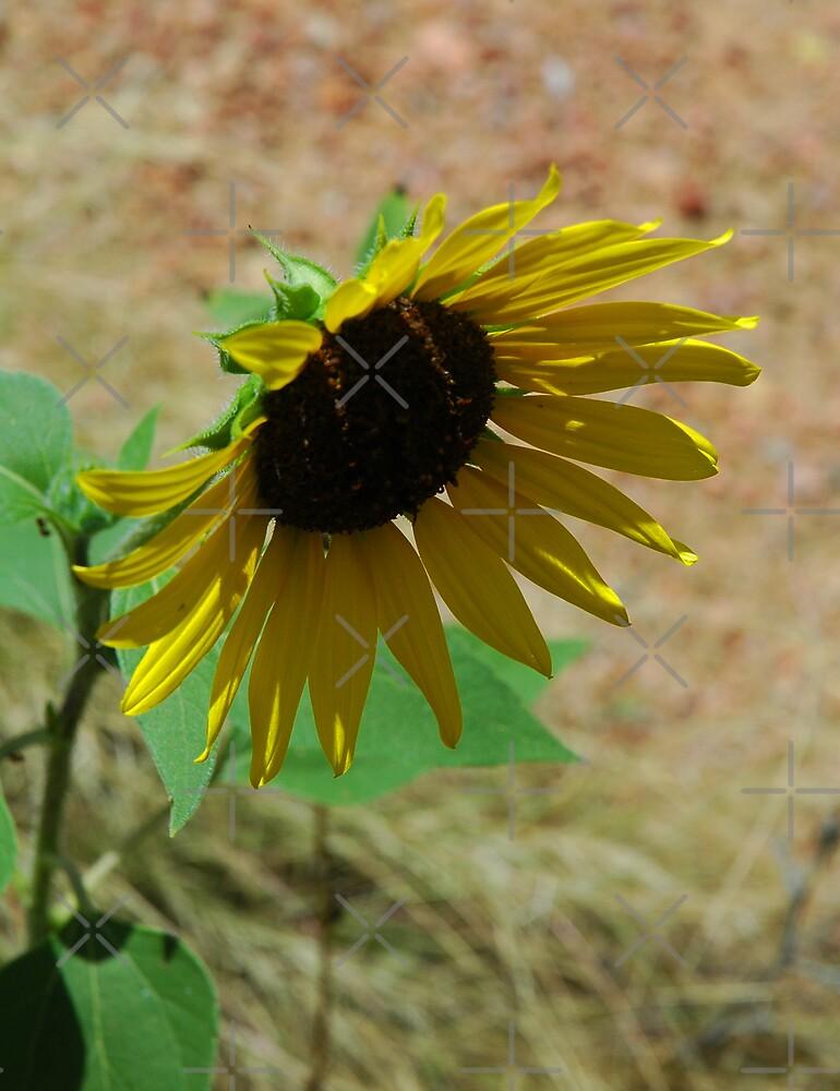 Sun Flower by Holly Werner