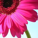 Pink Qtr Gerbera On Blue Sky by Justine Butler - daisybluesky.co.uk Tel: 07969 444962