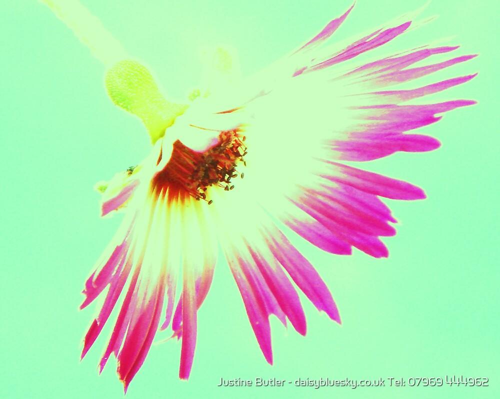 Shocking Pink Daisy On Blue Sky by Justine Butler - daisybluesky.co.uk Tel: 07969 444962