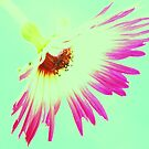 Shocking Pink Daisy On Blue Sky by Justine Butler - daisybluesky.co.uk Tel: 07969 444962