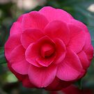 Camellia by Gary L   Suddath