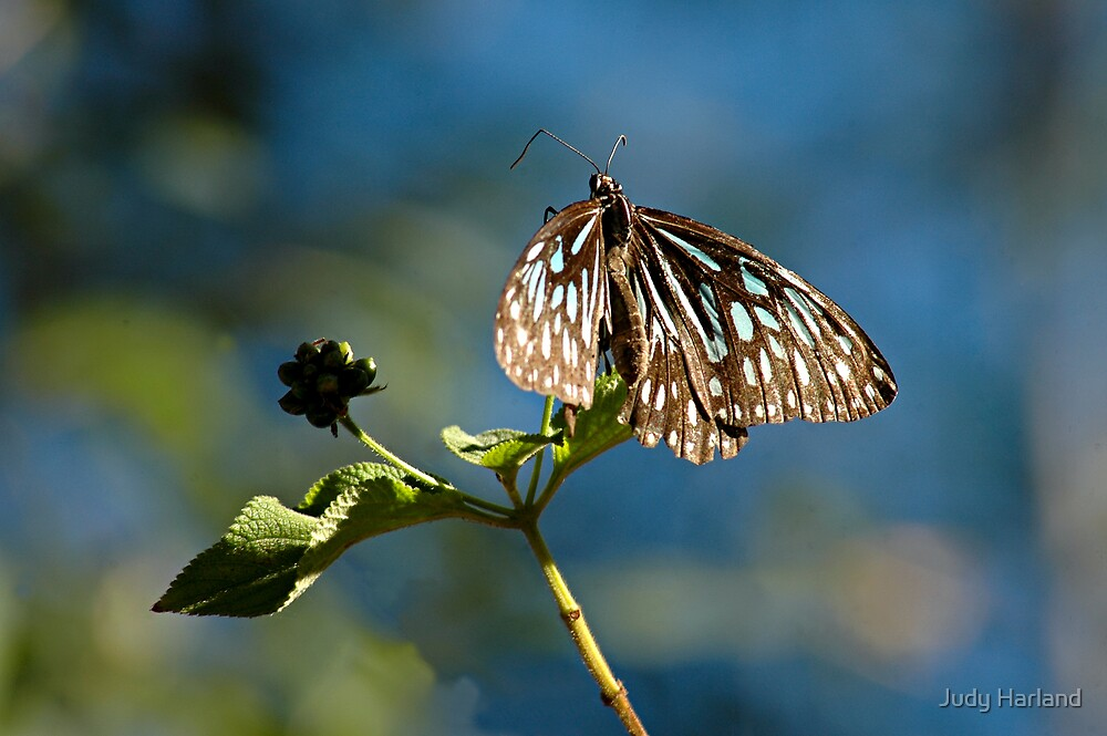 Butterfly by Judy Harland