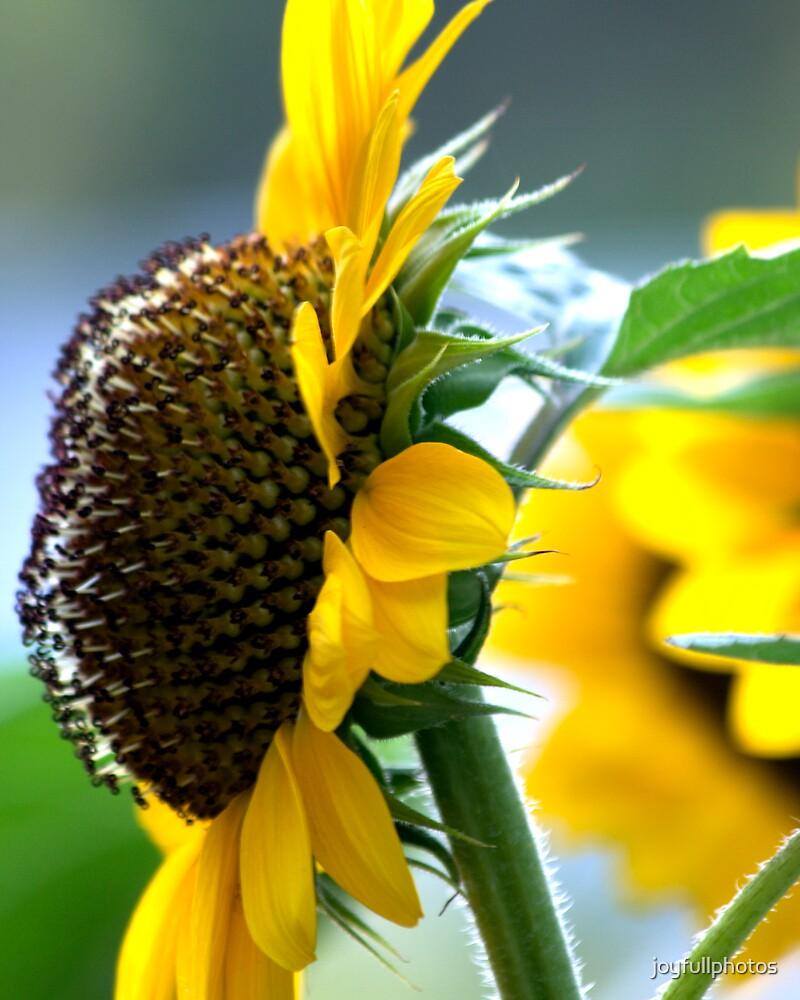 Sunflowers 1 by joyfullphotos