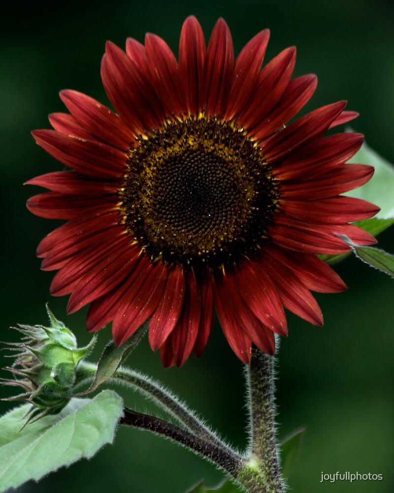 Red sunflower by joyfullphotos