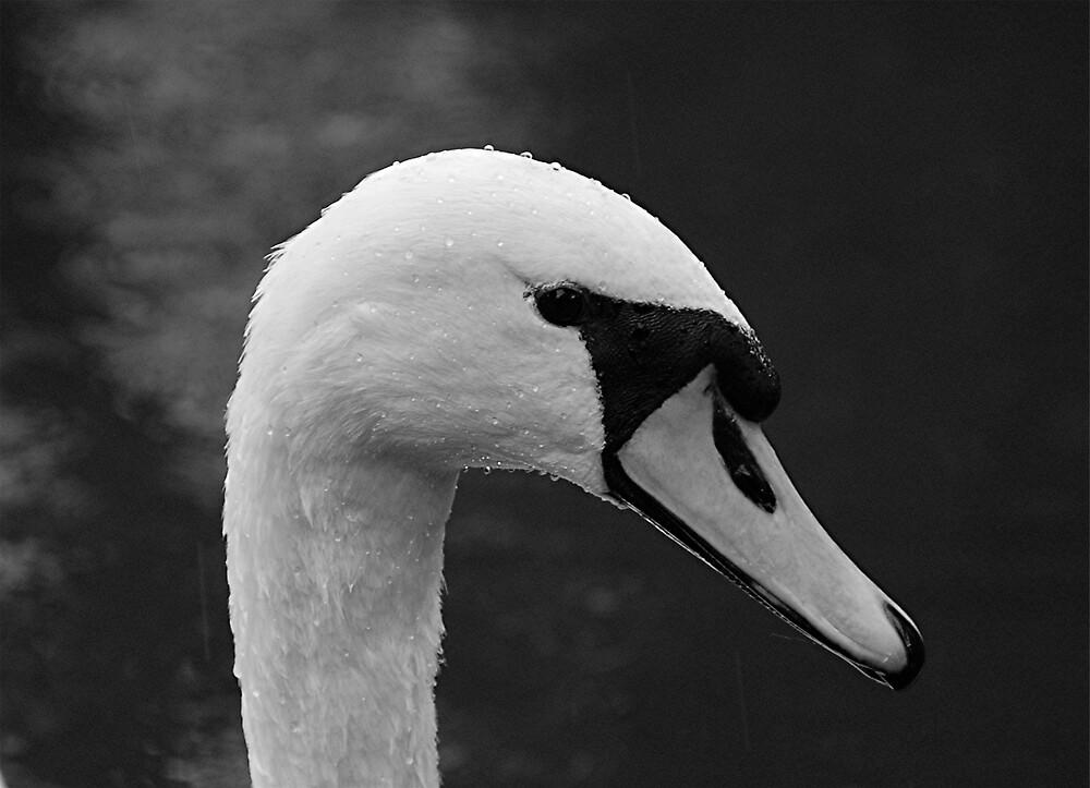 Swan 1 by Maddie