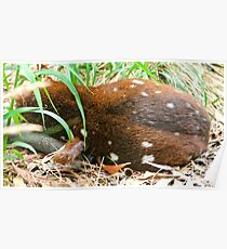 CRITTERS ~ Tiger Quoll 3 by tasmanianartist Poster