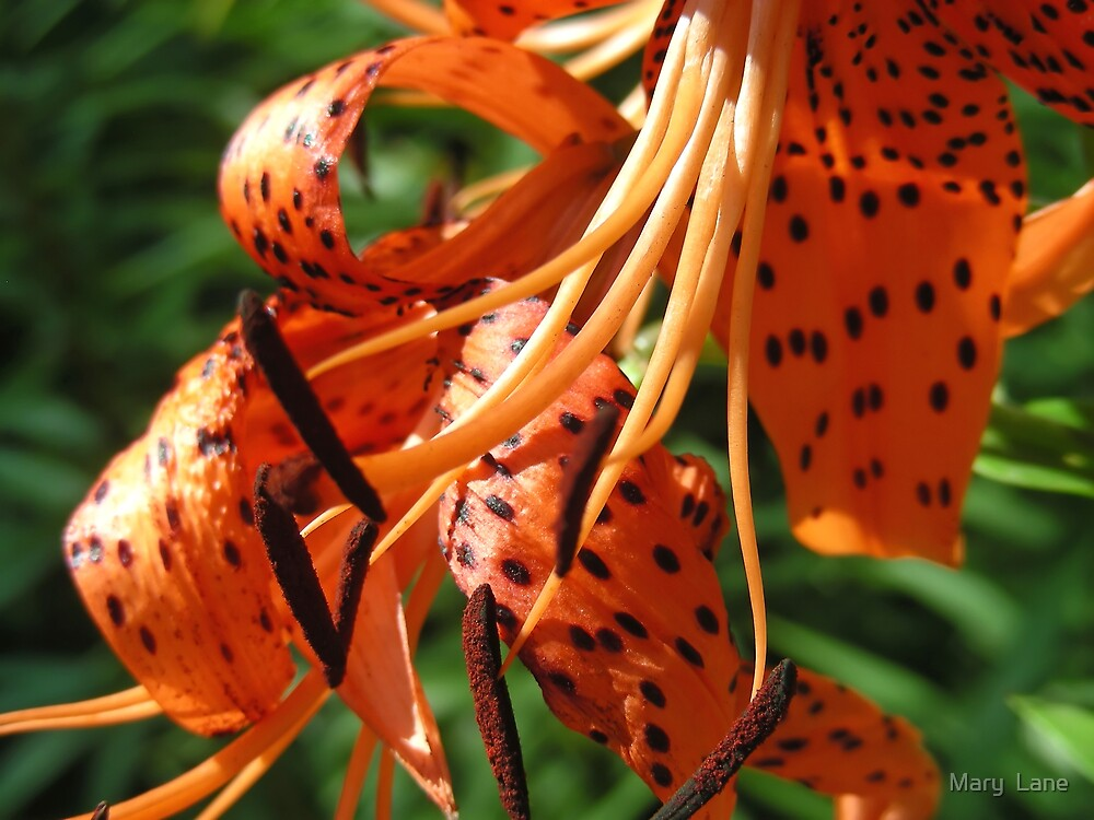 Tiger Lily by Mary  Lane