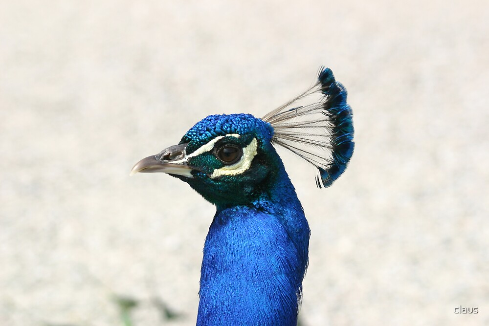a peacock's portrait by claus