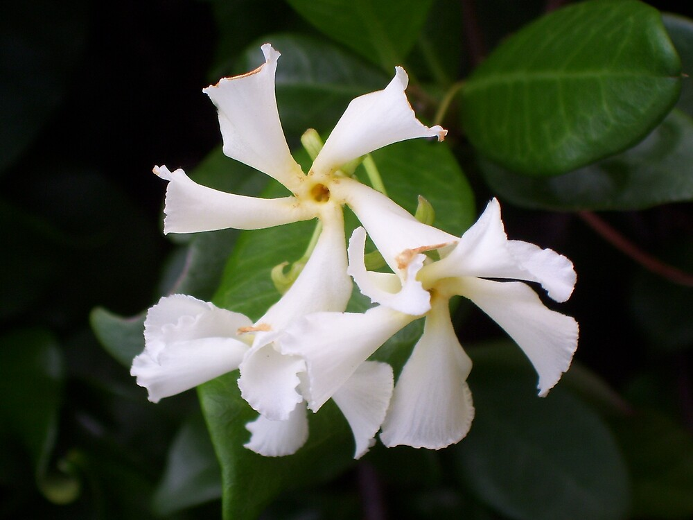 White Lace by akcskirby